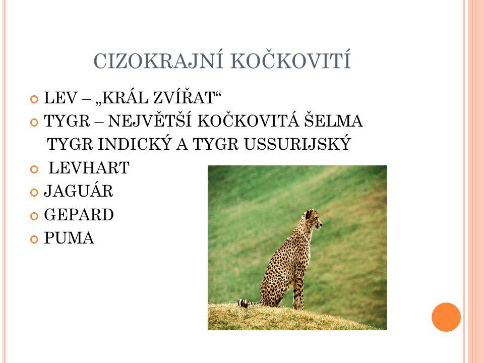 """CIZOKRAJNÍ KOČKOVITÍ LEV – """"KRÁL ZVÍŘAT"""
