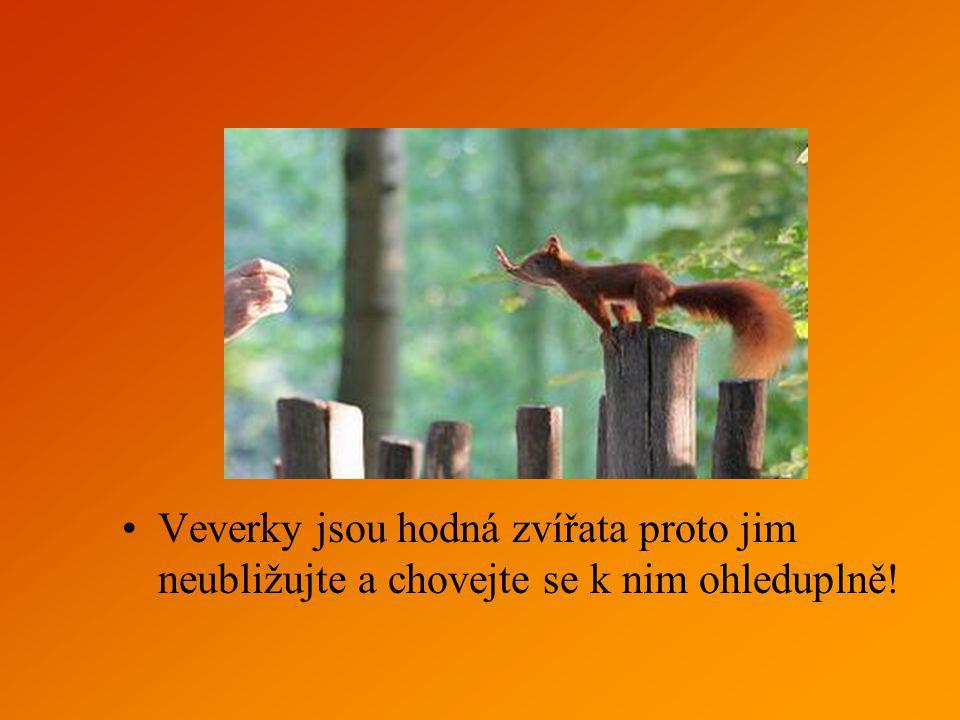 Veverky jsou hodná zvířata proto jim neubližujte a chovejte se k nim ohleduplně!