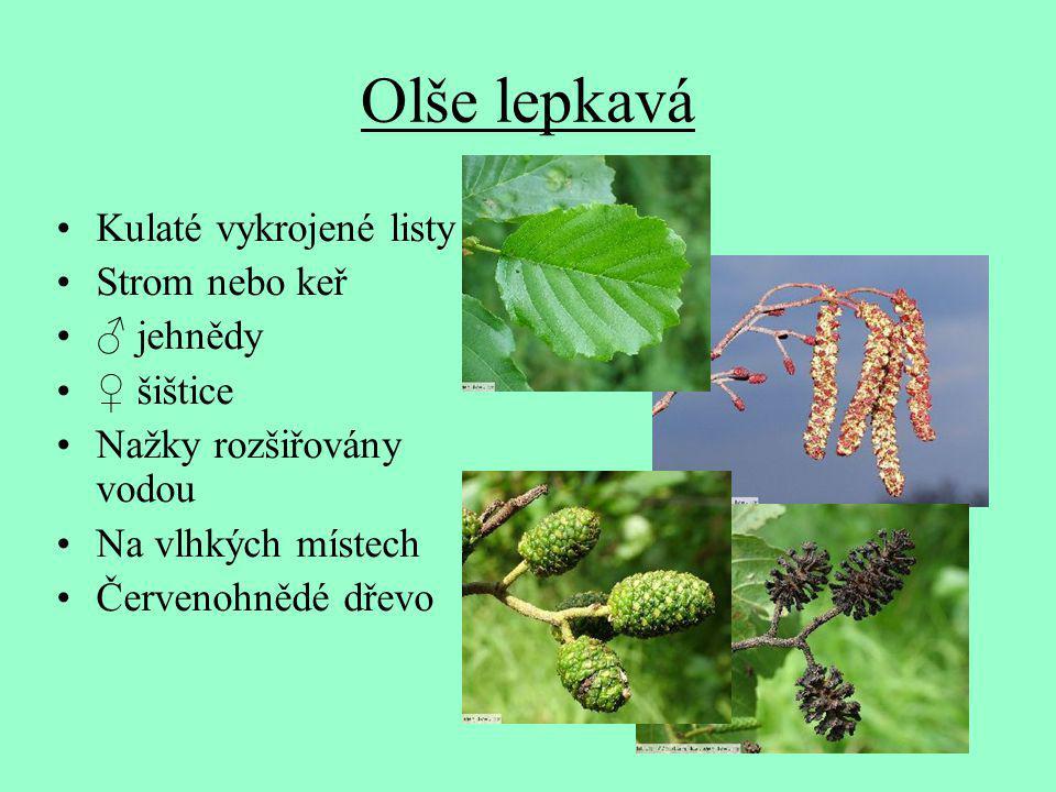 Olše lepkavá Kulaté vykrojené listy Strom nebo keř ♂ jehnědy ♀ šištice