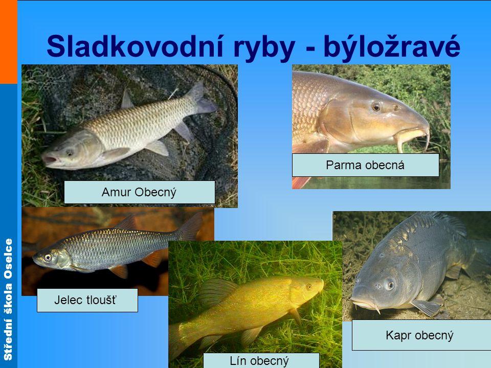 Sladkovodní ryby - býložravé