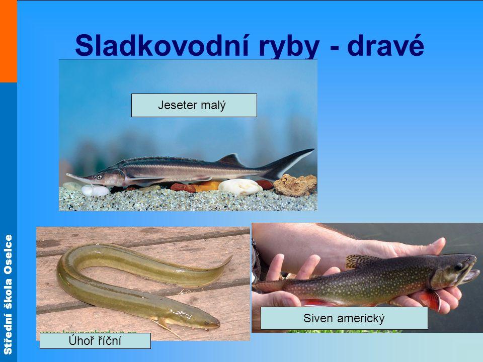 Sladkovodní ryby - dravé