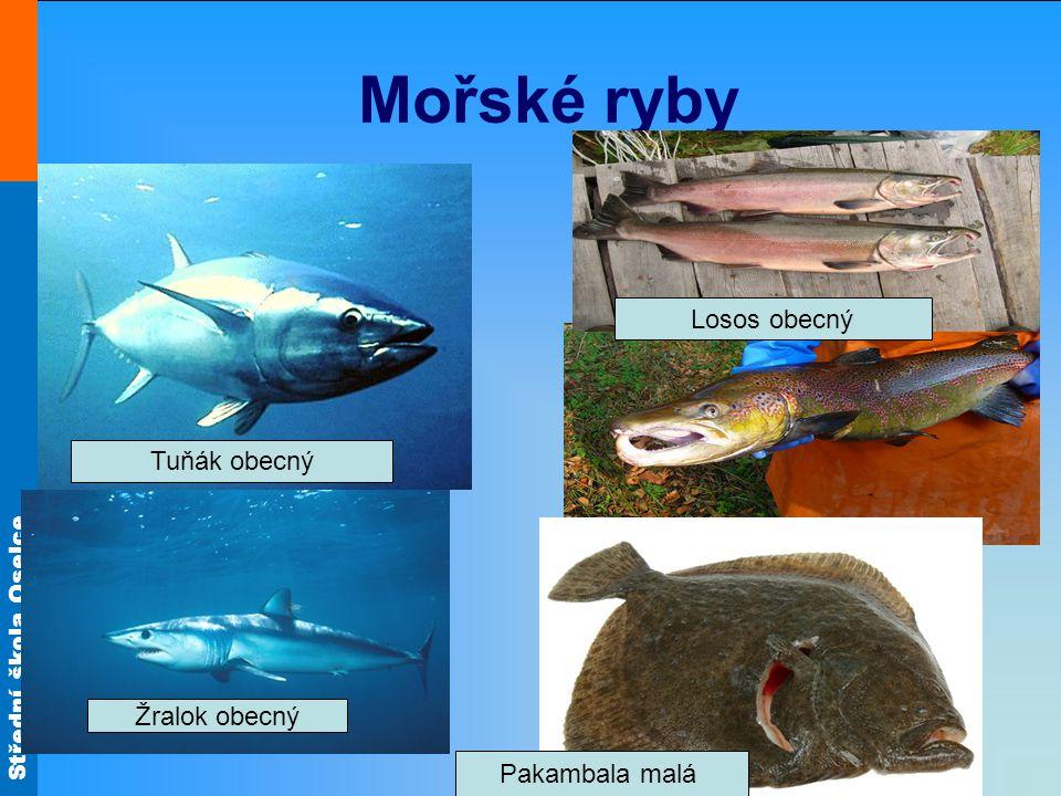 Mořské ryby Losos obecný Tuňák obecný Žralok obecný Pakambala malá