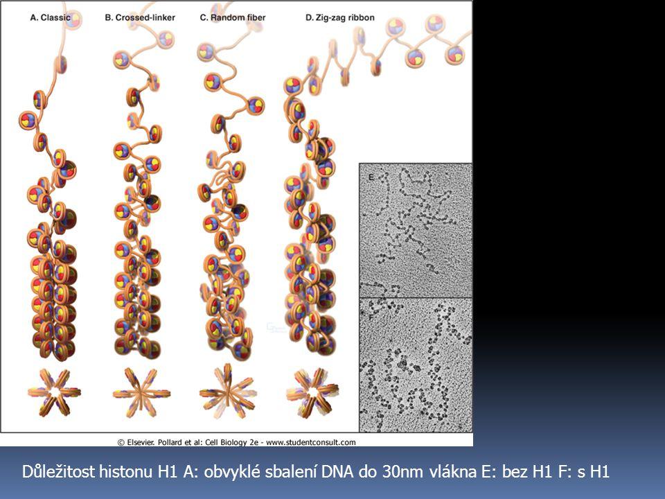 Důležitost histonu H1 A: obvyklé sbalení DNA do 30nm vlákna E: bez H1 F: s H1