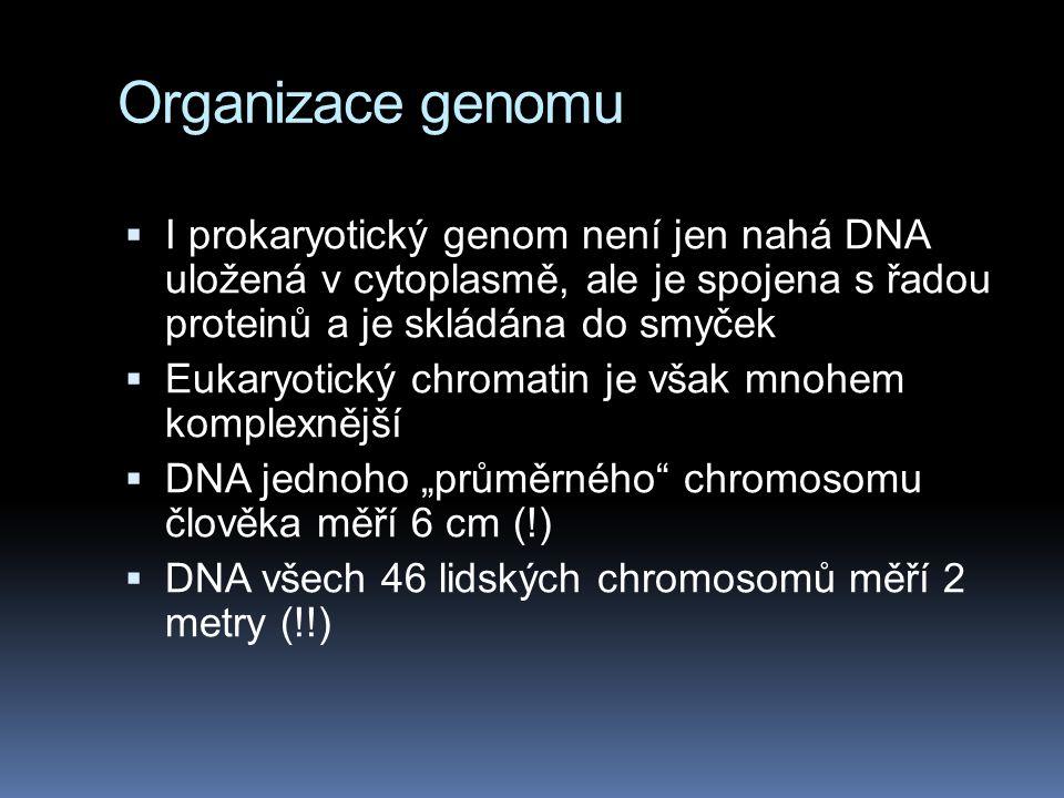 Organizace genomu I prokaryotický genom není jen nahá DNA uložená v cytoplasmě, ale je spojena s řadou proteinů a je skládána do smyček.