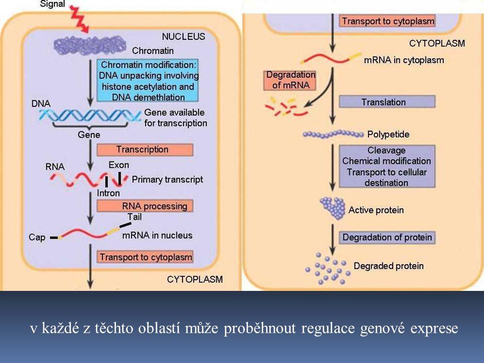 v každé z těchto oblastí může proběhnout regulace genové exprese