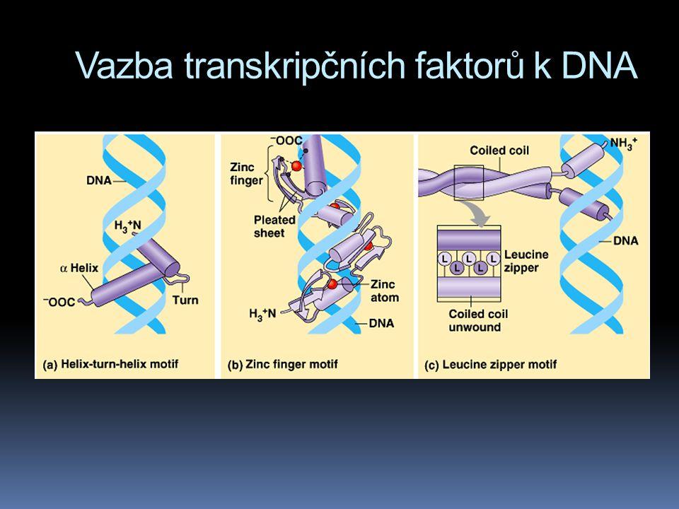 Vazba transkripčních faktorů k DNA