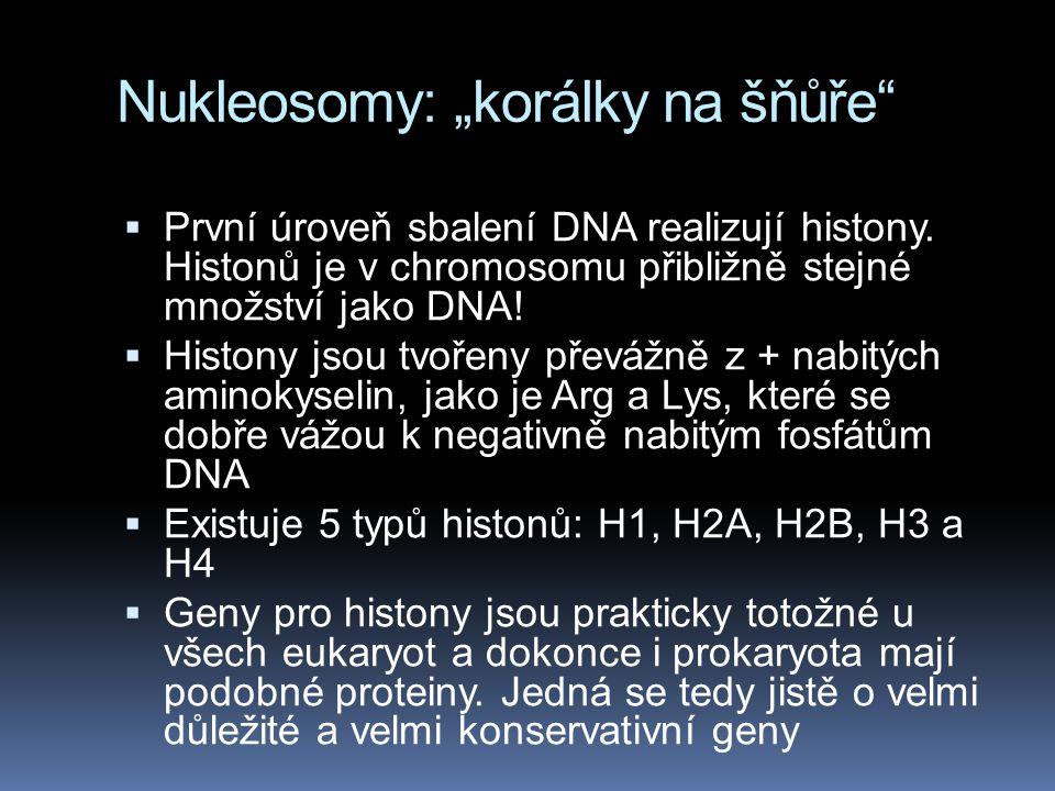 """Nukleosomy: """"korálky na šňůře"""