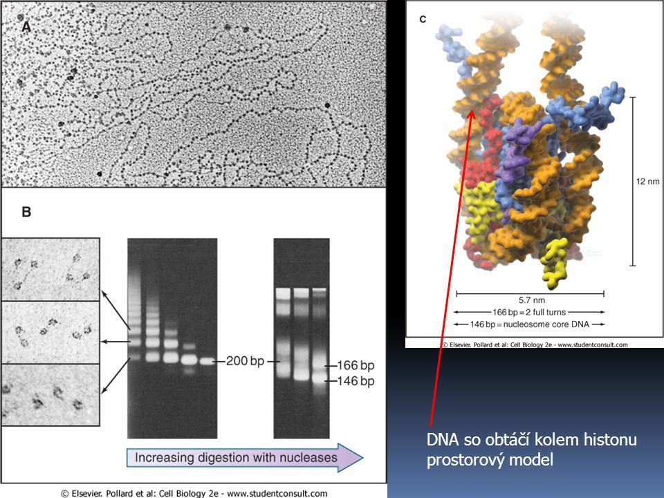 DNA so obtáčí kolem histonu