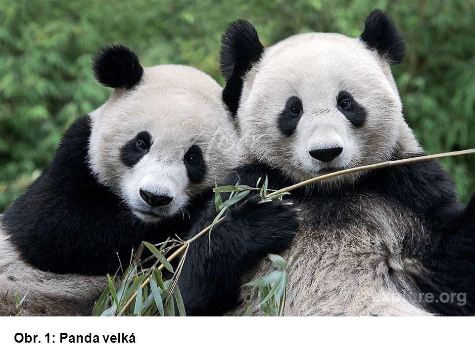 Obr. 1: Panda velká