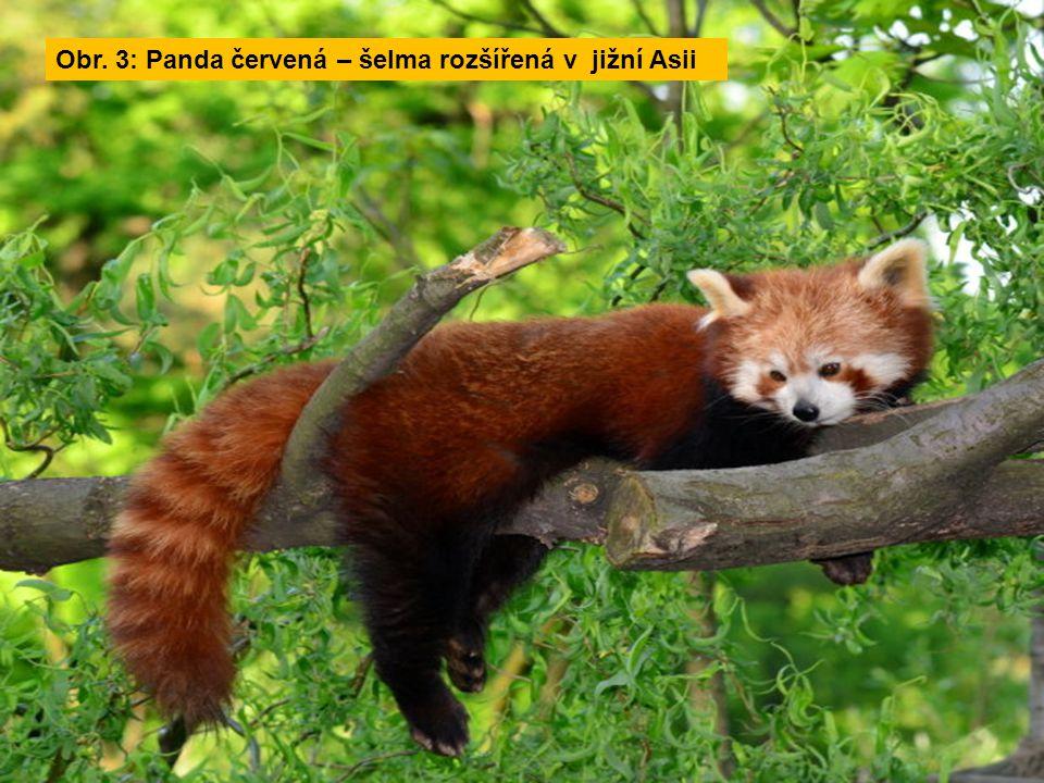 Obr. 3: Panda červená – šelma rozšířená v jižní Asii