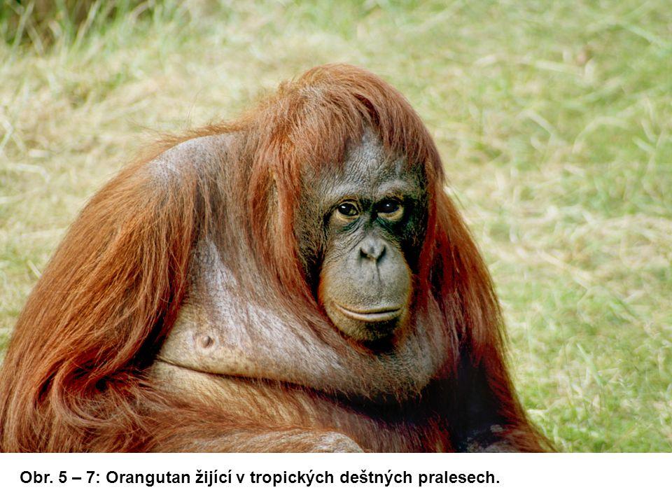 Obr. 5 – 7: Orangutan žijící v tropických deštných pralesech.