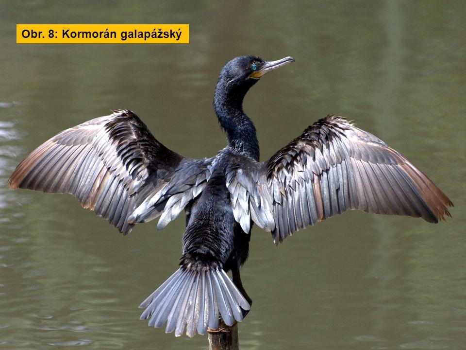 Obr. 8: Kormorán galapážský