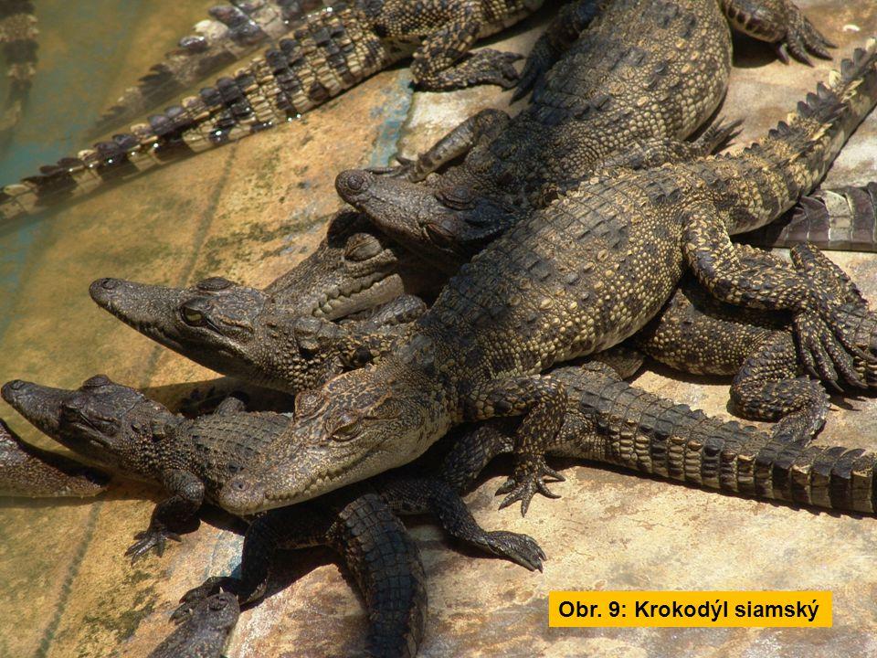 Obr. 9: Krokodýl siamský
