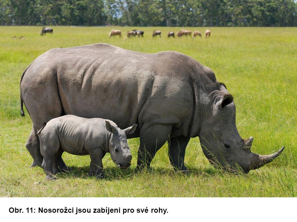 Obr. 11: Nosorožci jsou zabíjeni pro své rohy.