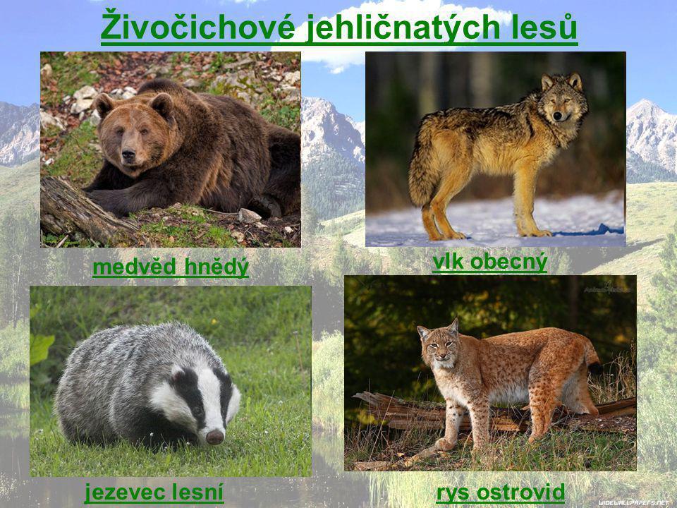 Živočichové jehličnatých lesů