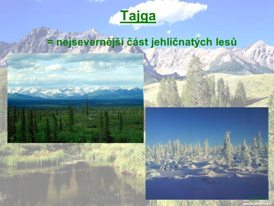 Tajga = nejsevernější část jehličnatých lesů
