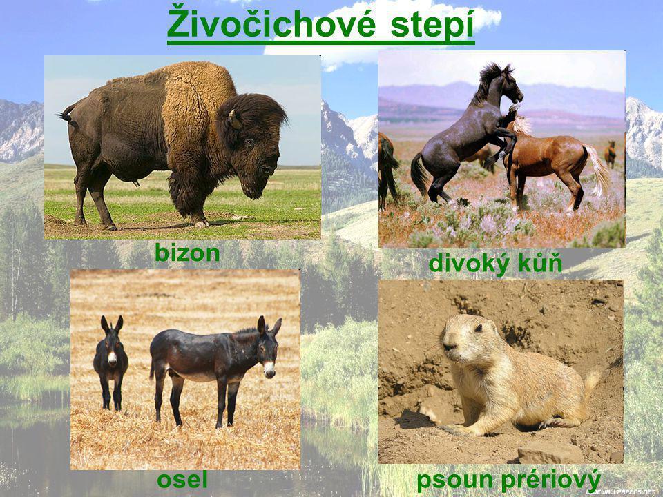 Živočichové stepí bizon divoký kůň osel psoun prériový