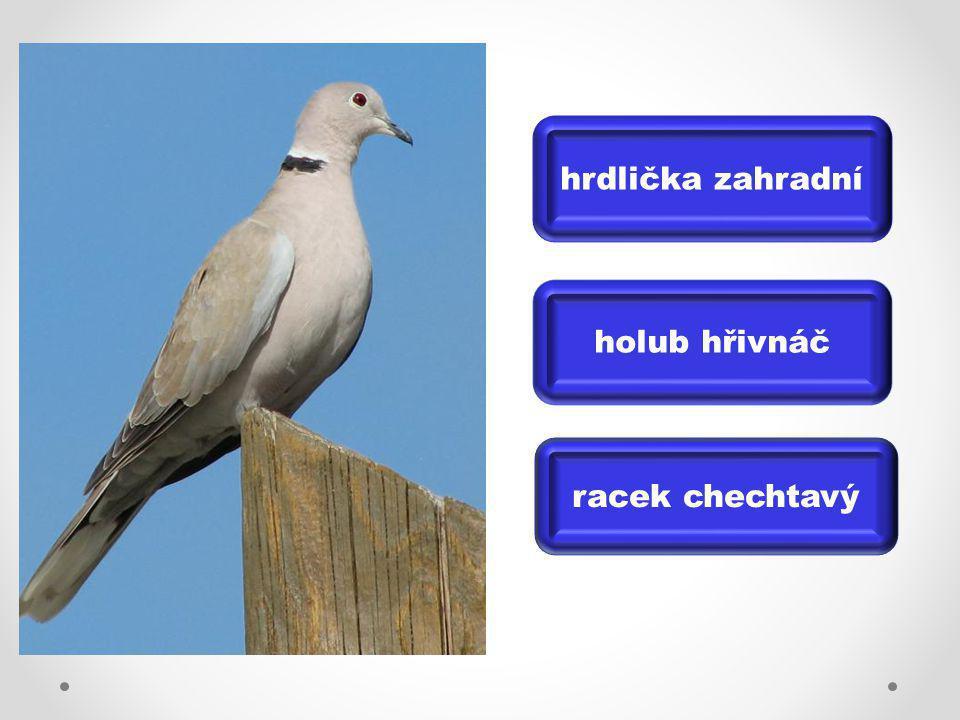 hrdlička zahradní holub hřivnáč racek chechtavý