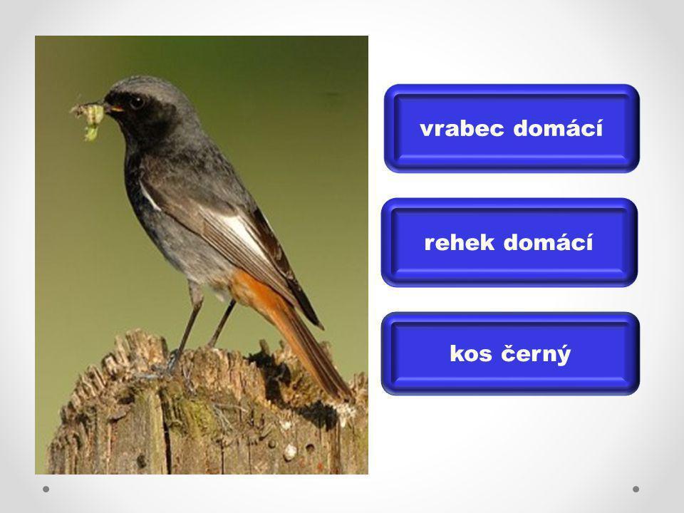 vrabec domácí rehek domácí kos černý