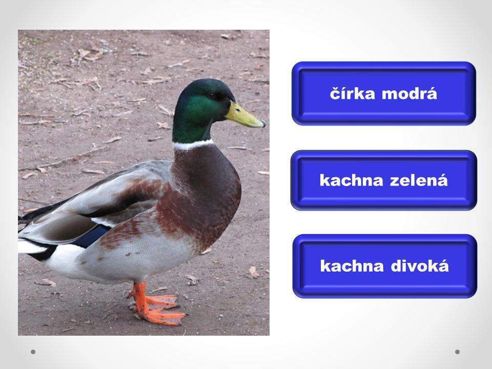 čírka modrá kachna zelená kachna divoká