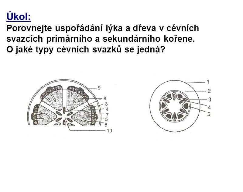 Úkol: Porovnejte uspořádání lýka a dřeva v cévních svazcích primárního a sekundárního kořene.