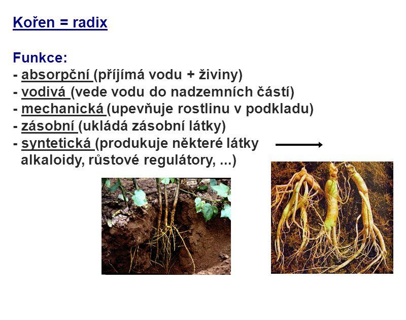 Kořen = radix Funkce: - absorpční (příjímá vodu + živiny)