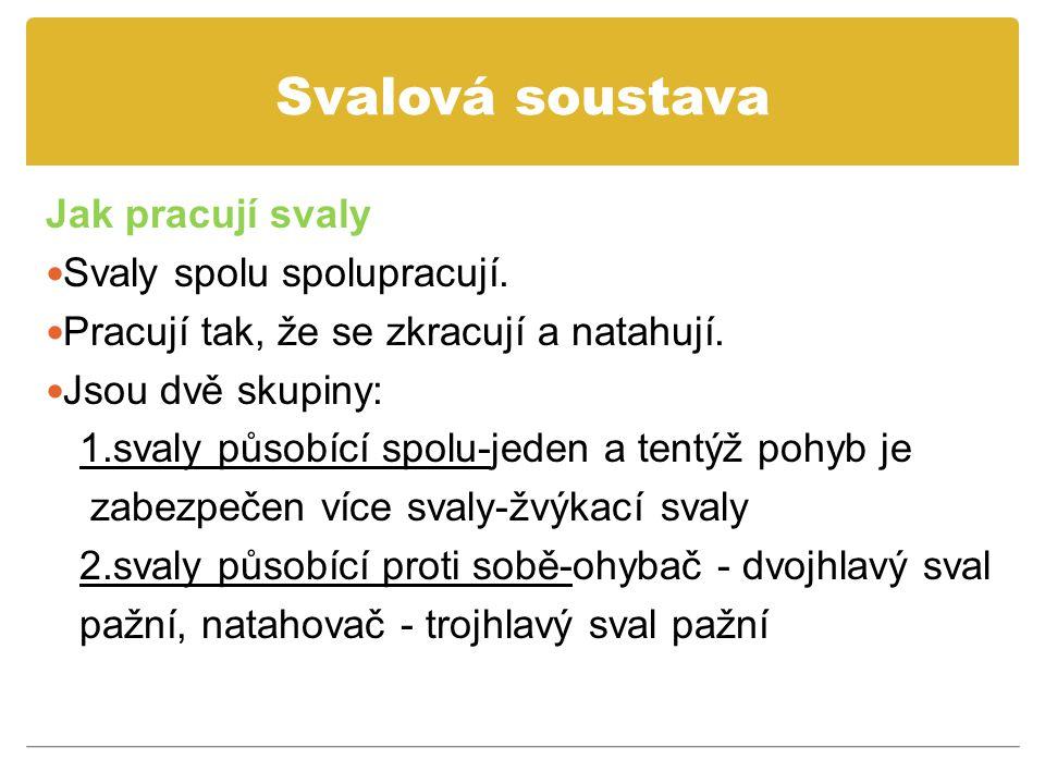 Svalová soustava Jak pracují svaly Svaly spolu spolupracují.