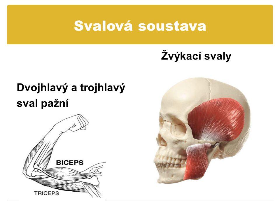 Svalová soustava Žvýkací svaly Dvojhlavý a trojhlavý sval pažní