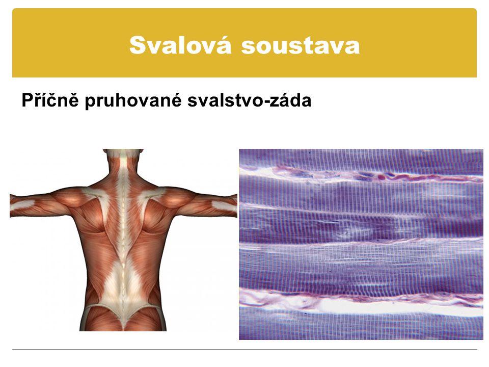 Svalová soustava Příčně pruhované svalstvo-záda