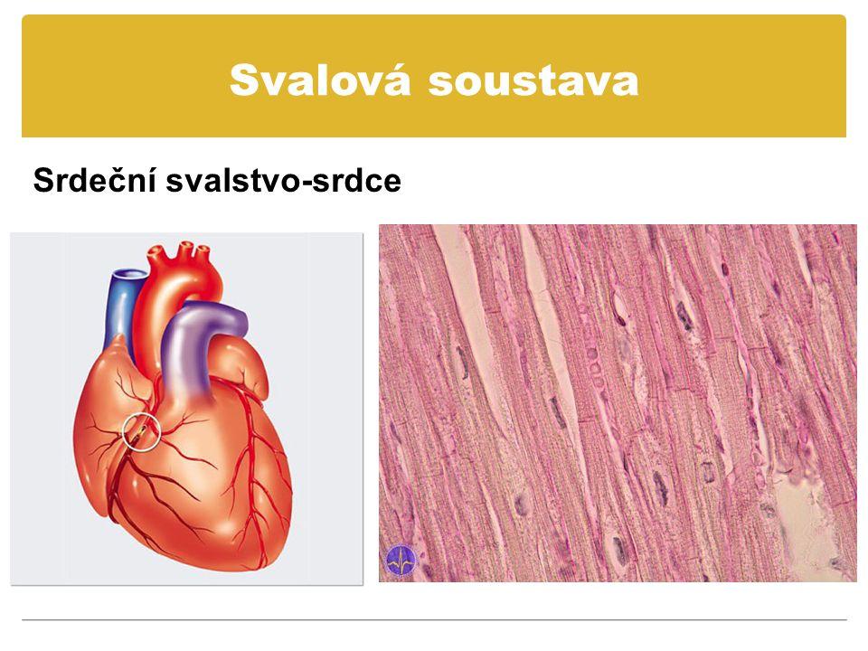 Svalová soustava Srdeční svalstvo-srdce