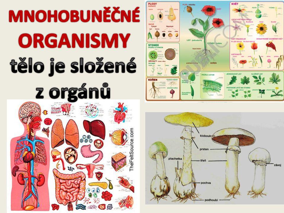 MNOHOBUNĚČNÉ ORGANISMY tělo je složené z orgánů