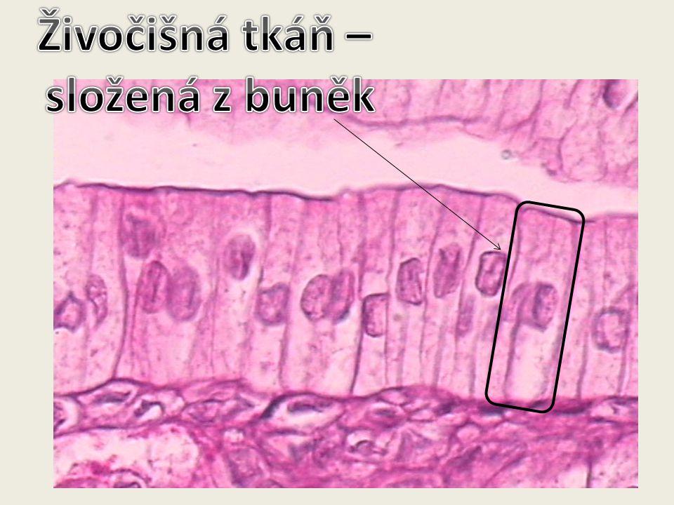 Živočišná tkáň – složená z buněk