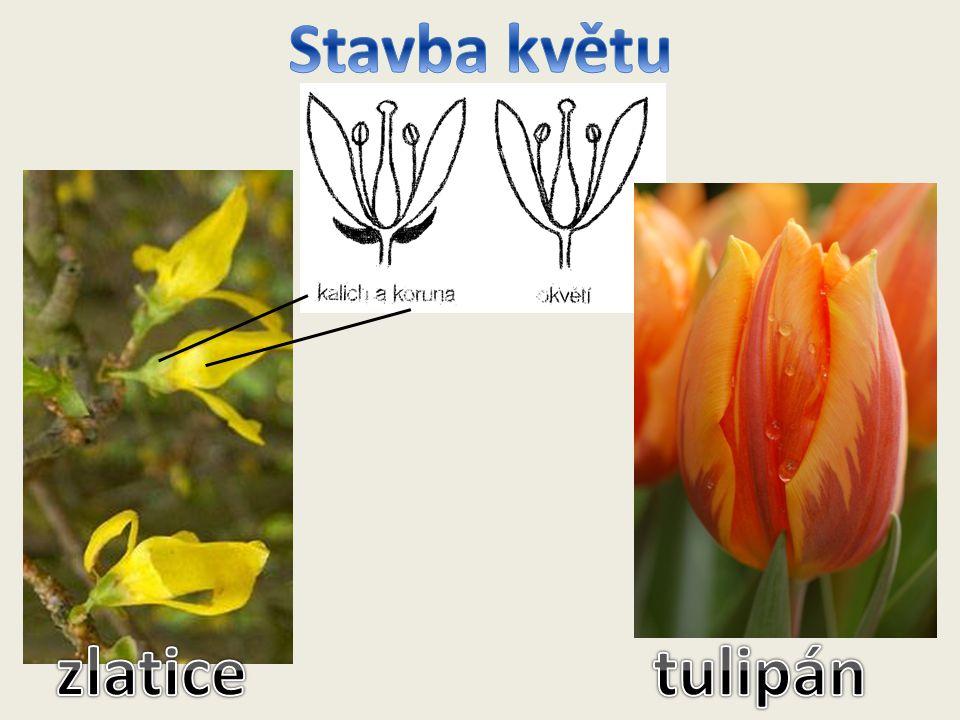 Stavba květu zlatice tulipán