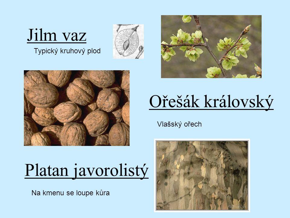 Jilm vaz Ořešák královský Platan javorolistý Typický kruhový plod