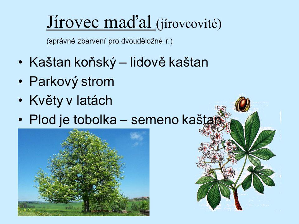 Jírovec maďal (jírovcovité)