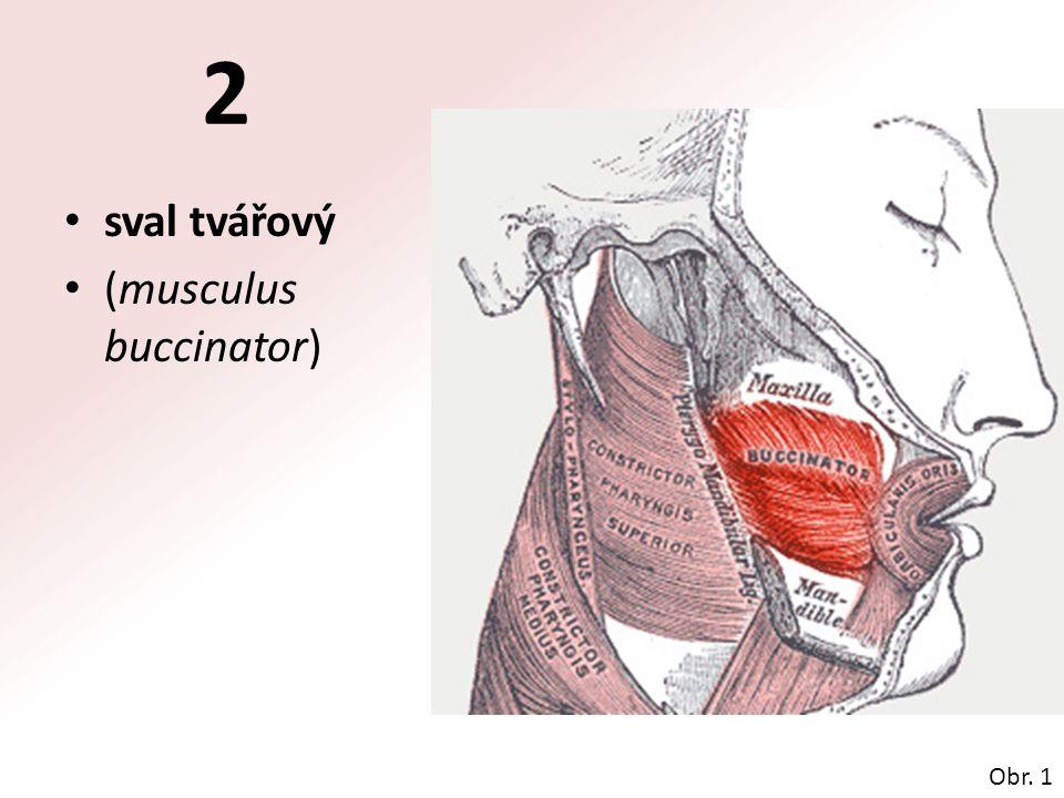 2 sval tvářový (musculus buccinator) Obr. 1