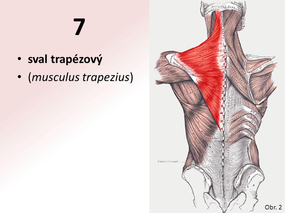 7 sval trapézový (musculus trapezius) Obr. 2