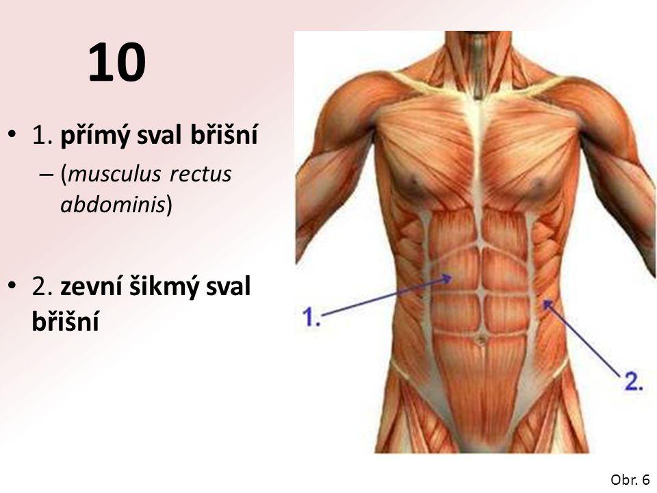 10 1. přímý sval břišní 2. zevní šikmý sval břišní