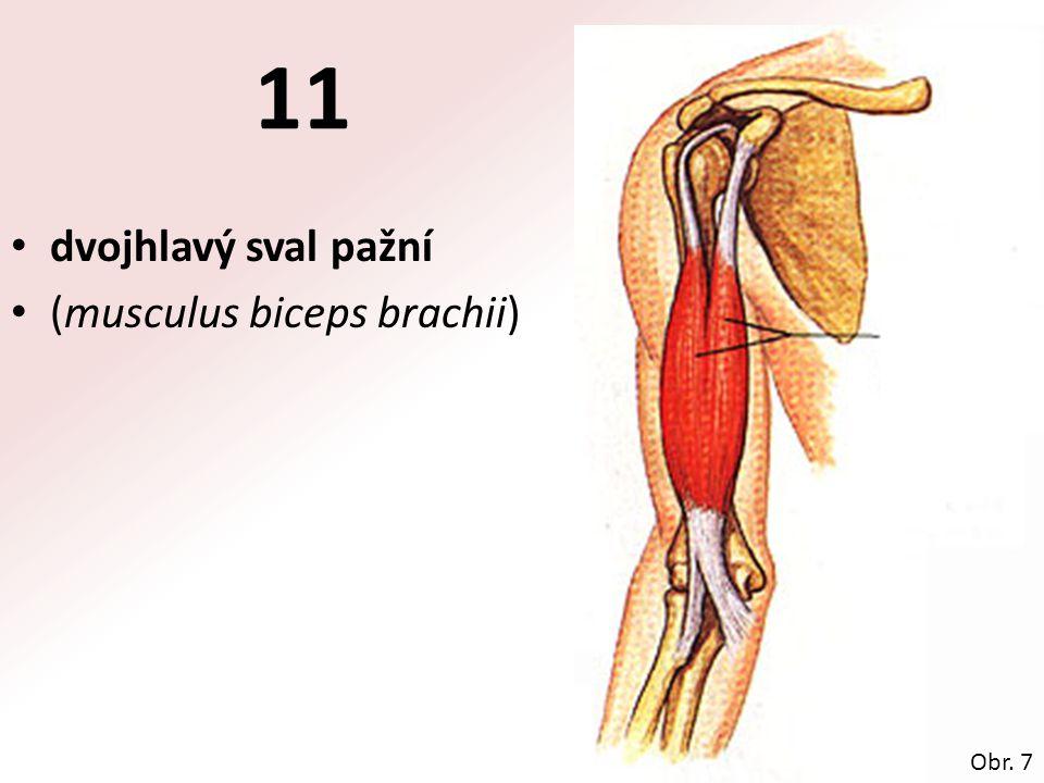11 dvojhlavý sval pažní (musculus biceps brachii) Obr. 7