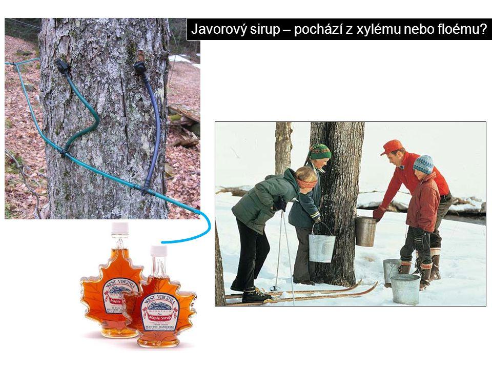 Javorový sirup – pochází z xylému nebo floému