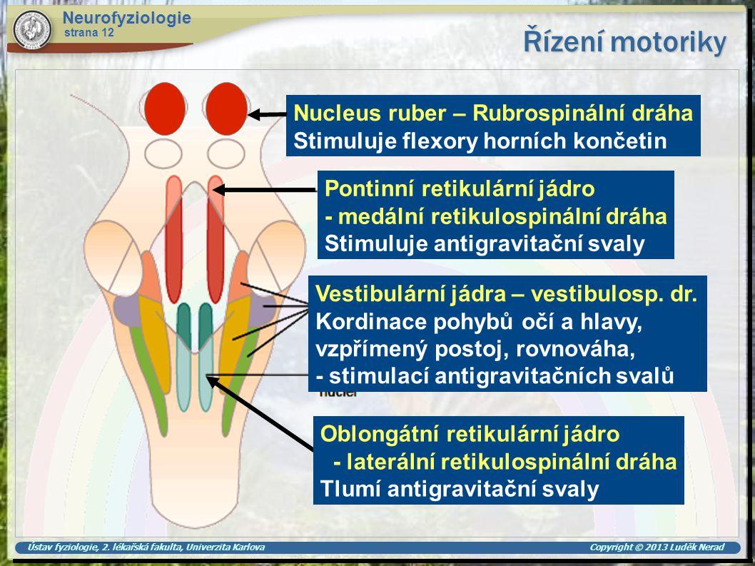 Řízení motoriky Nucleus ruber – Rubrospinální dráha