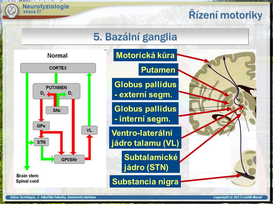 Řízení motoriky 5. Bazální ganglia Motorická kůra Putamen