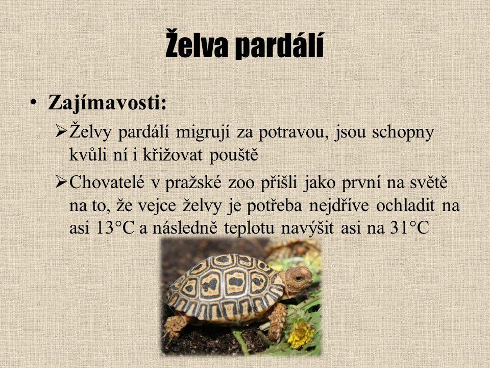 Želva pardálí Zajímavosti: