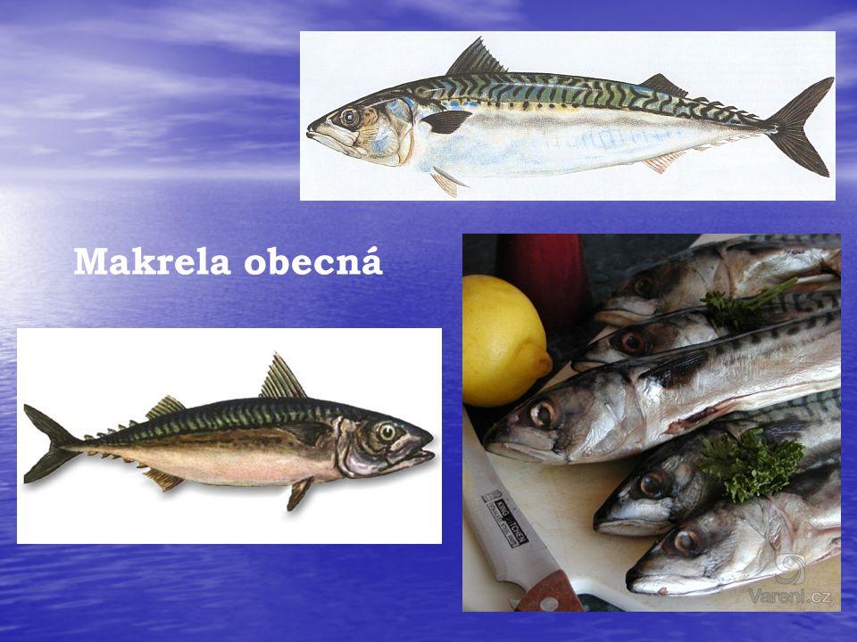 Makrela obecná