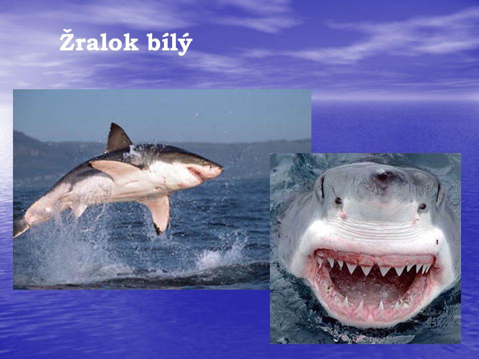 Žralok bílý