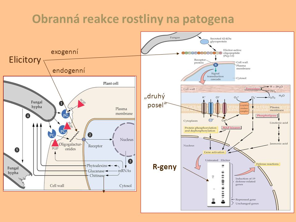 Obranná reakce rostliny na patogena