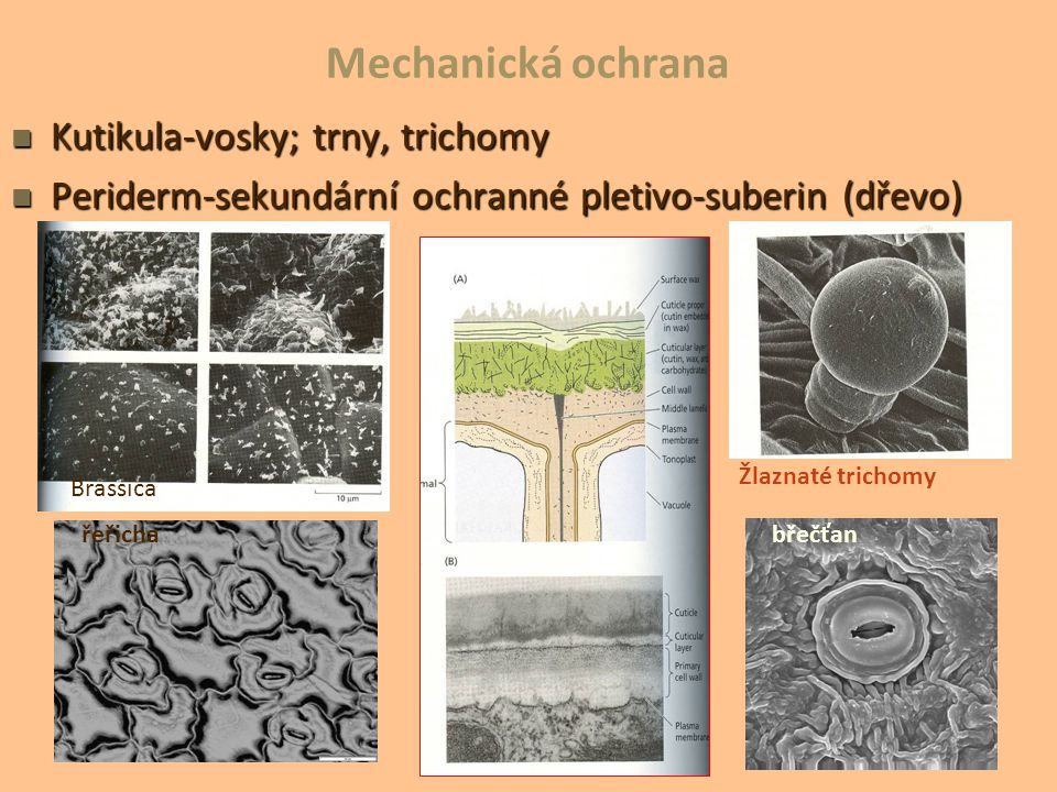 Mechanická ochrana Kutikula-vosky; trny, trichomy
