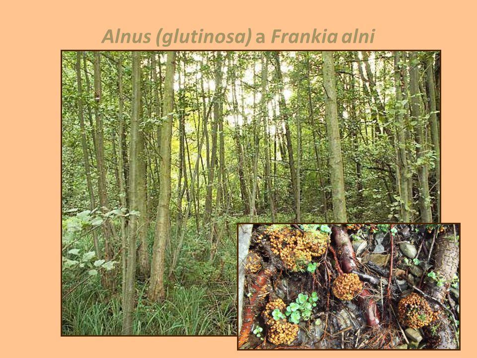 Alnus (glutinosa) a Frankia alni