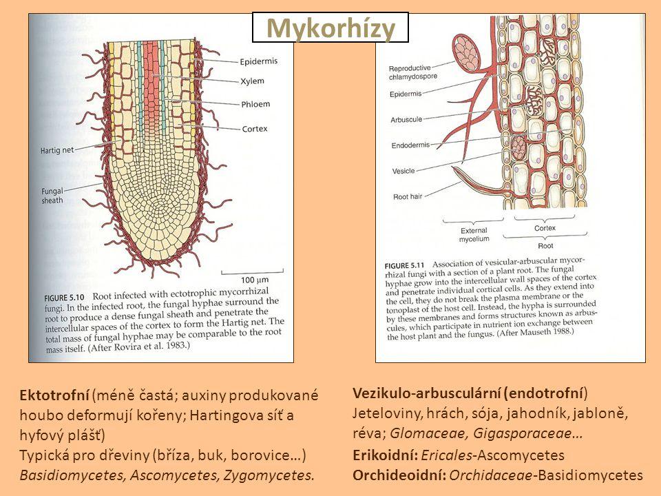 Mykorhízy Vezikulo-arbusculární (endotrofní)