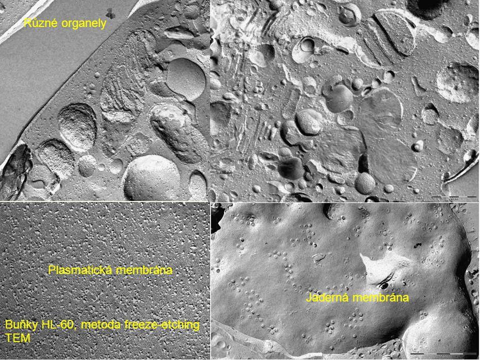 Různé organely Plasmatická membrána Jaderná membrána Buňky HL-60, metoda freeze-etching TEM